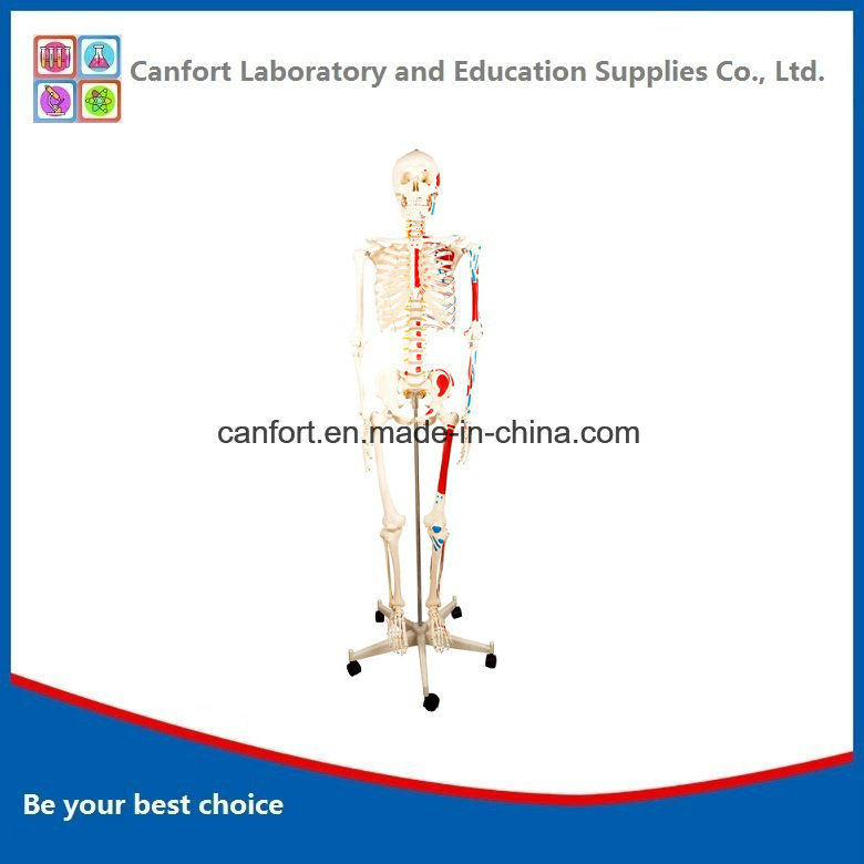 Teaching Model Human Skeleton Model with Half Muscle and Coloring (170cm)