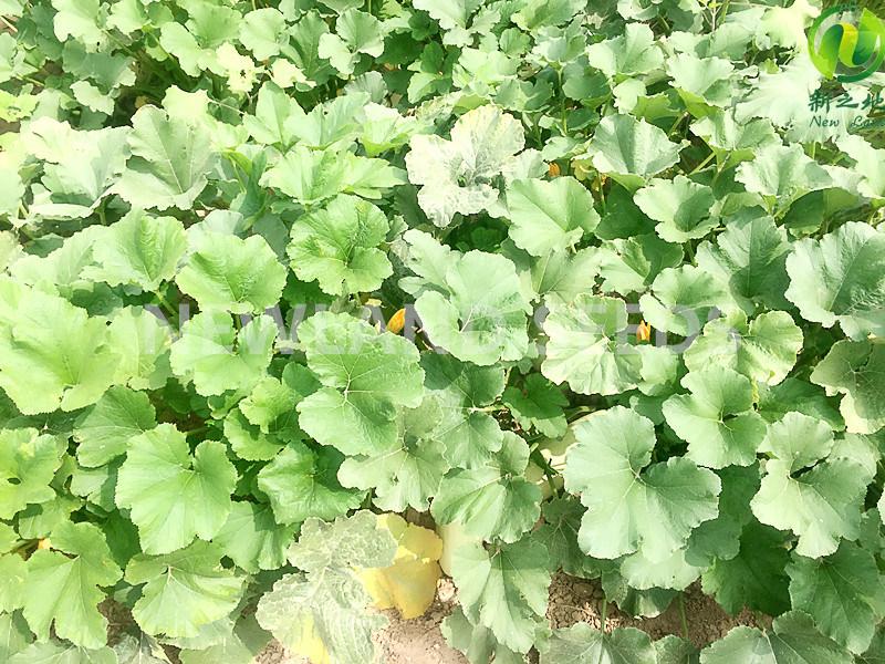 Chinese New Crop Shine Skin Pumpkin Seeds to Europe