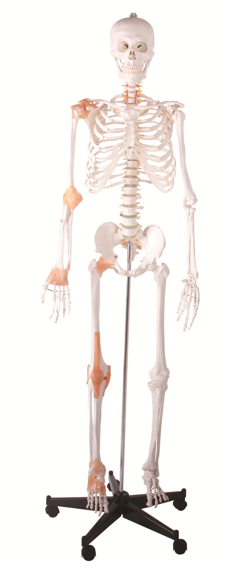 165cm Human Plastic Skeleton with Ligament