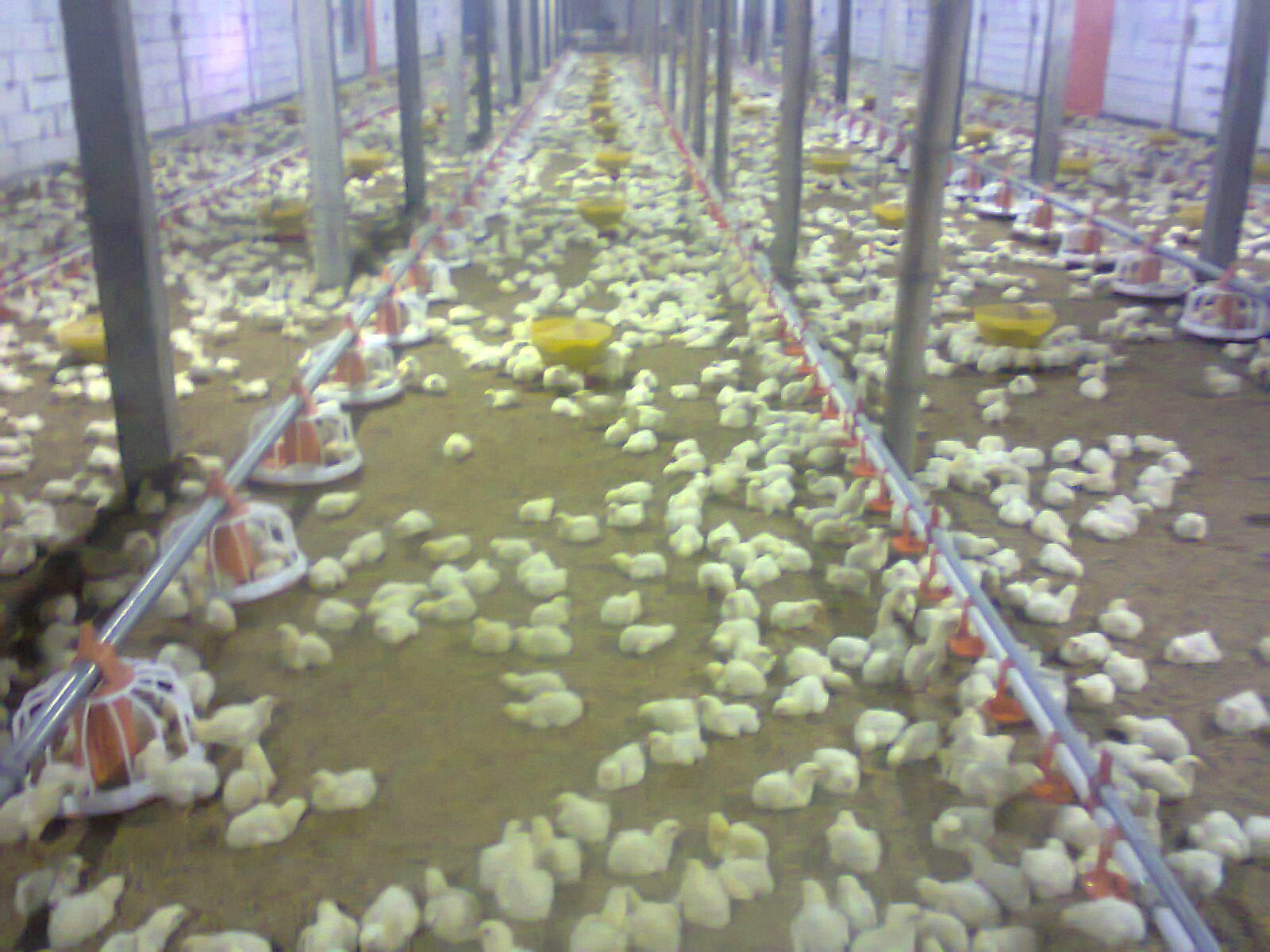 Automatic Poultry Chicken Farm Equipment for Broiler Breeder Layer