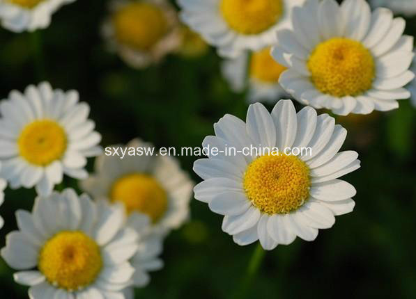 Parthenolide CAS No 29552-41-8 Feverfew Extract