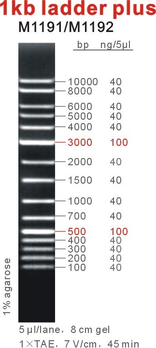 Nucleic Acid Gel Electrophoresis Dna Ladders 1kb Plus