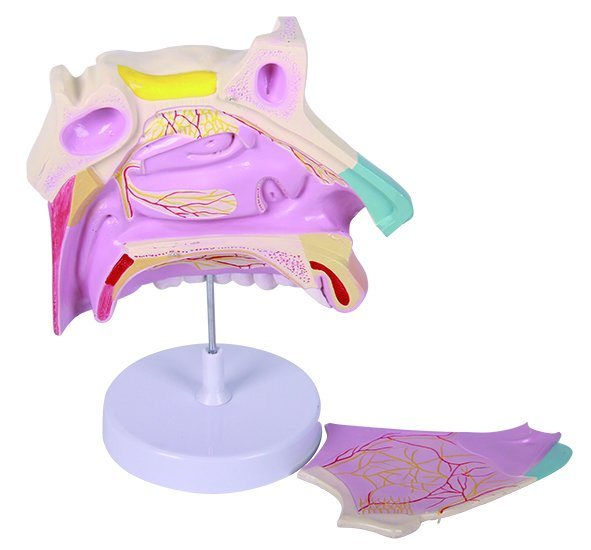 Human Anatomical Nasal Cavity Model