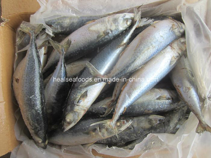 200-300g Mackerel / Frozen Seafood Exporter