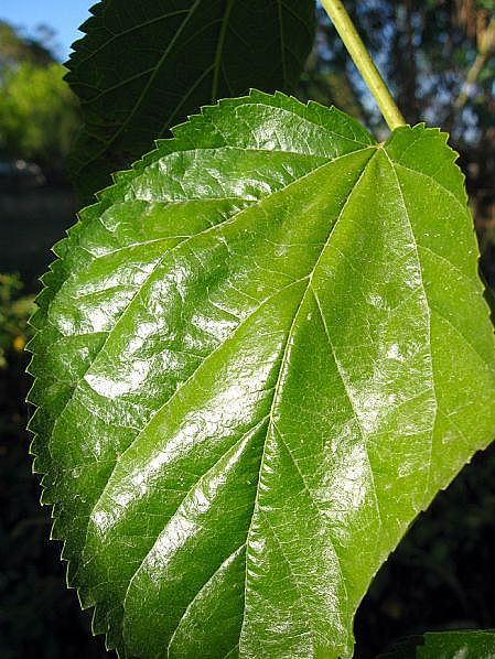 Chlorophyll, The Absorption of Light Energy Through Plants ...