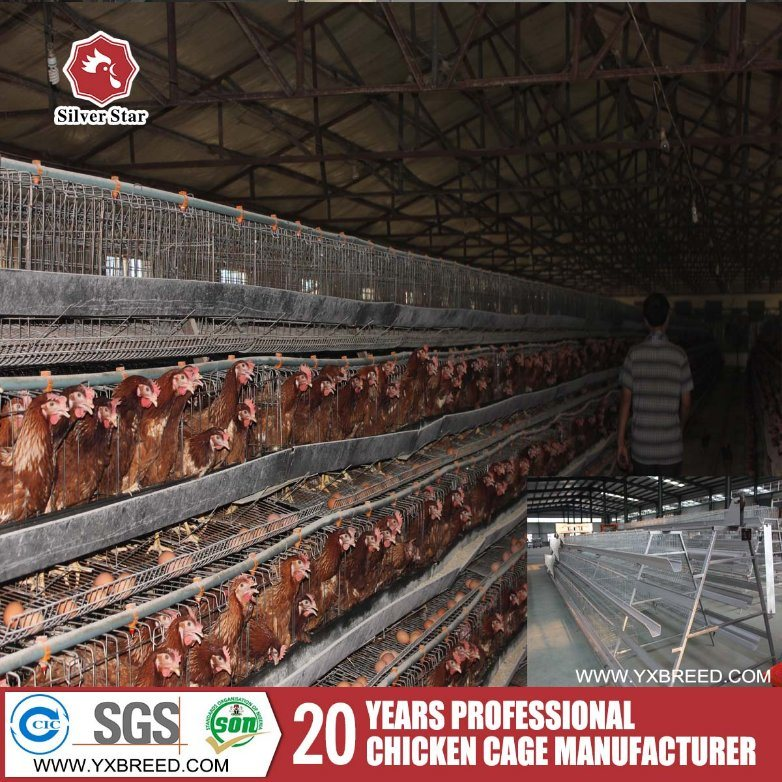 Full Automatic System a Type Layer Cage for Bolivia Farm