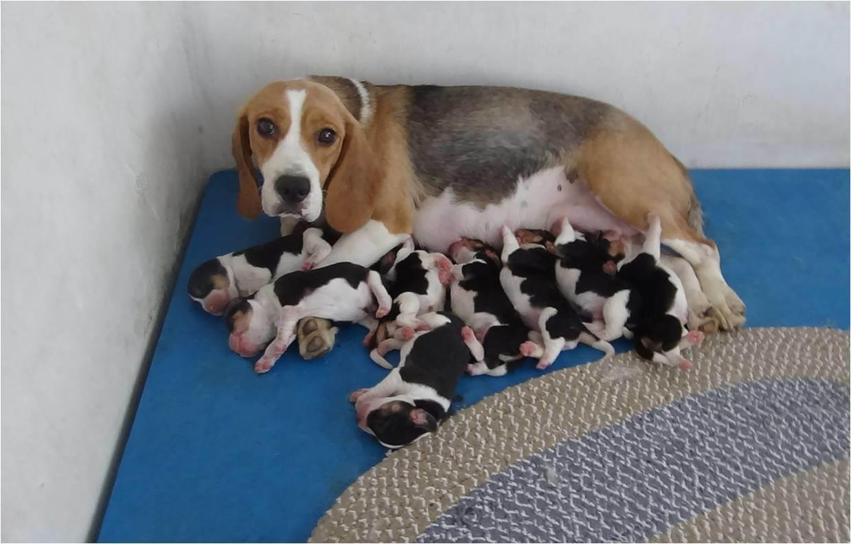 Pin Beagle Puppy on Pinterest