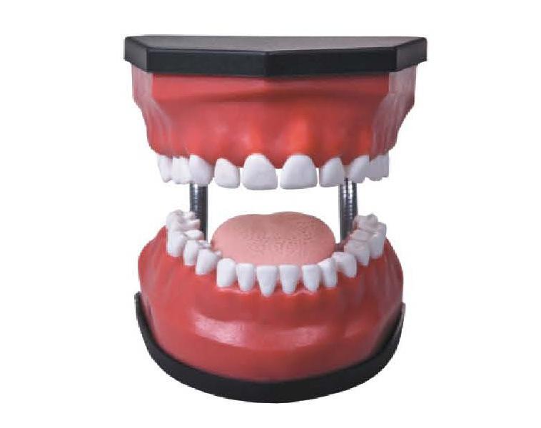 Medical Educational Dental and Teeth Care Model with 28 Teeth