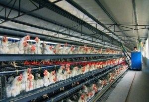 Prefabricated Poultry House (DG6-007)