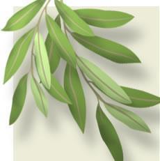 Antioxidant Olea Europaea P. E. Oleuropein