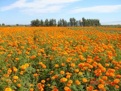 Marigold Extract 5%-20%Lutein for Eye Protection