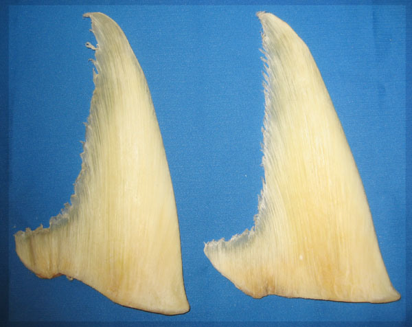 http://image.made-in-china.com/2f0j00yemtRrGnnPbc/Shark-Fin-02-.jpg