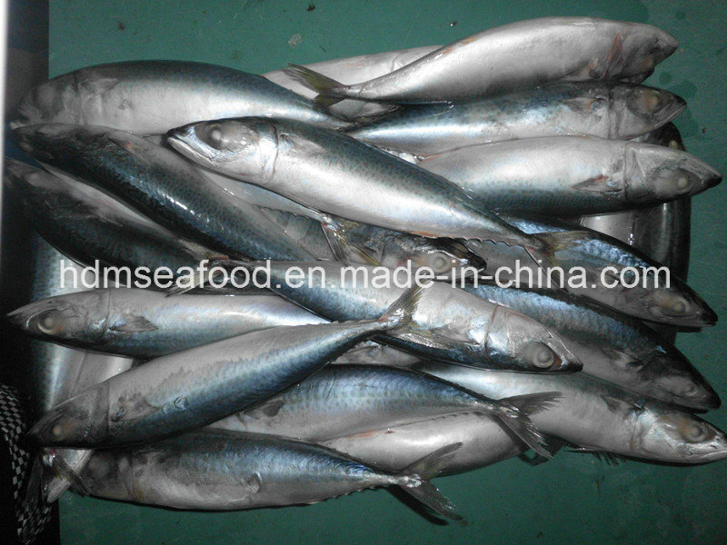 Supply Pacific Mackerel Fish Frozen Seafood (Scomber japonicus)