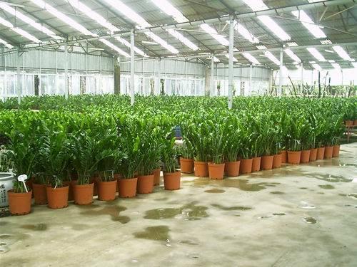 Arbre-d-argent-de-zamioculcas-zamiifolia