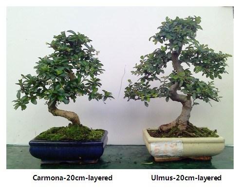 Pianta pot dei bonsai pianta pot dei bonsaifornito for Bonsai pianta