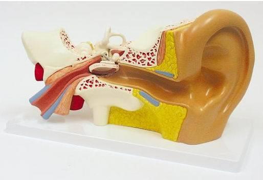 Mod le anatomique d 39 oreille externe moyen int rieur for Interieur oreille