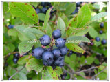Manufacturer Natural Cowberry Blueberry/Huckleberry 10: 1 Extract Powder