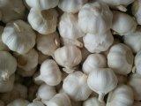 Garlic, Fresh Garlic, Normal Garlic, Pure White Garlic
