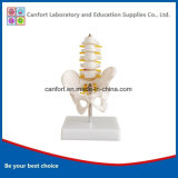 Teaching Skeleton Model Small Size Pelvic Girdle Five Lumbar Spine Model
