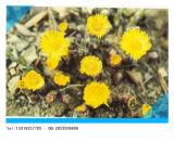 Factory Supply Organic Herb Medicine Tussilago Farfara/Flos Farfarae Extract