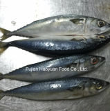 Chinese Supplier of Whole Round Frozen Fish Pacific Mackerel
