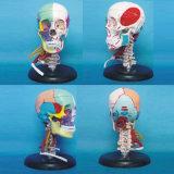 Vascular Nerve Muscle Human Skull Skeleton Medical Anatomical Model