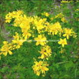 Plant Extract with Hypericum Perforatum L