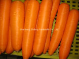 New Crop Exporting Chinese Carrot