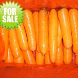 2017 New Crop Fresh Carrot (S grade and M grade)