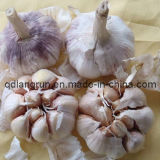 Fresh White Garlic 2013 New Crop