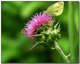 Pure Milk Thistle Extract Powder. Dry Water Soluble Milk Thistle Extract