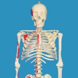 170cm Painted Labeled Full Human Skeleton Medical Model for Demonstration