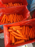 Fresh Carrot From China on Sale