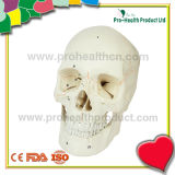 Medical Anatomical Skull Model (pH03-050 ) Human Skull Model