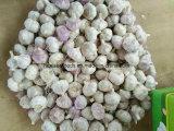 Chinese Fresh Pure White Garlic 5.5cm+