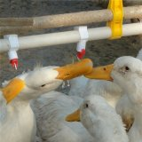 Ducks Drinking System and High Quality Feeder