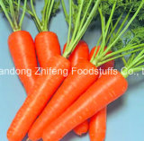 Fresh Carrot with Sweet Taste for Exporting