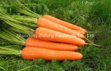 Export Best Quality Chinese Carrot