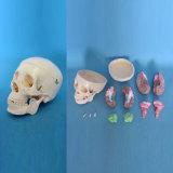 Human Bone System Medical Anatomical Skull Skeleton Model