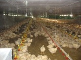 Automatic Poultry Chicken Feeding Line/Broiler Feed System
