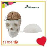 Plastic PVC Skull Model Including Teaching Detachable Brain Model