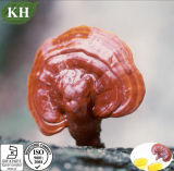 100% Pure Reishi Spore Oil for Immune Supporting