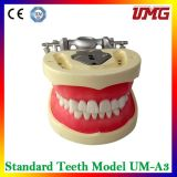 Durable Dental Teaching Study Model for Sale