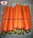Fresh Sweet Carrot with Good Price for Exporting