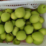 Good Quality Fresh Shandong Pear for India Market