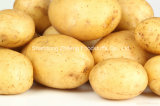 New Crop Fresh Chinese Potato