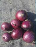 Fresh Onions Price in China