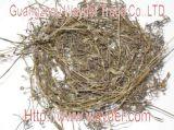 Spreading Hedyotis Herb