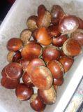 Fresh Chestnut New Crop 2017