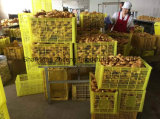 Air-Dry Ginger From Shandong for Exporting